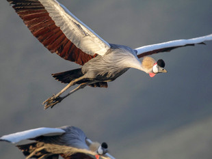 WilliamGray-Crowned cranes Ngorongoro.JP