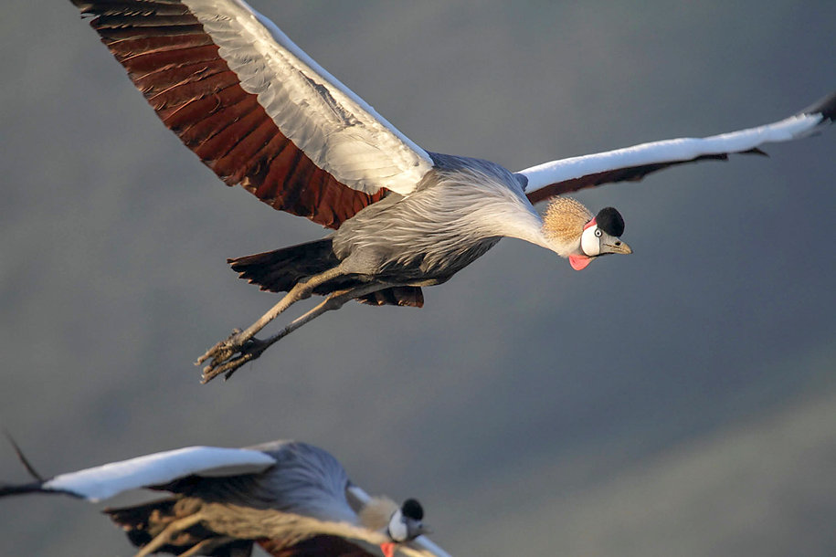 Crowned crane in flight, Ngorongoro Crater, Tanzania, by William Gray
