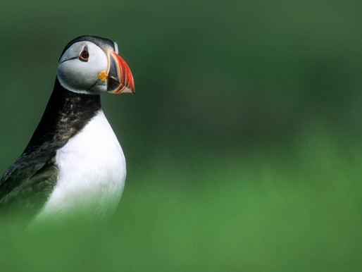 Witness a Seabird Spectacle on the Islands of Pembrokeshire