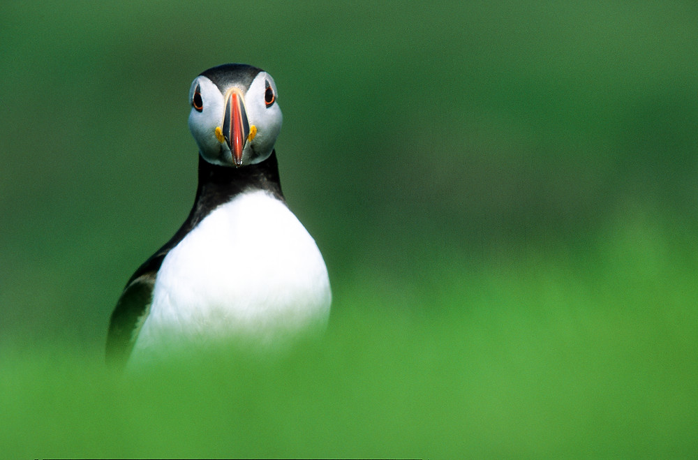 Puffin portrait, Shetland Islands