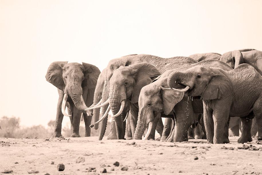 African elephants in Tsavo National Park, Kenya, by William Gray