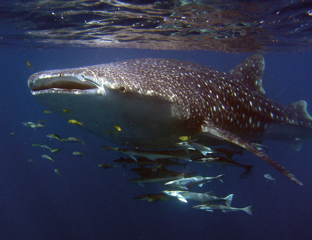 Going overboard for whale sharks – Ningaloo Reef is the setting for the ultimate 'big fish' story