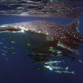 Swimming with Whale Sharks in Australia