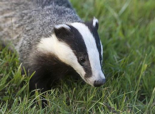 It's September: Go Badger Watching in Dorset