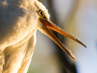 Reef heron portrait