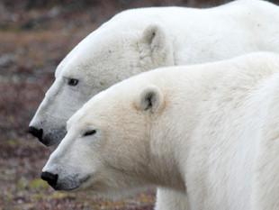 Polar bears, Hudson Bay