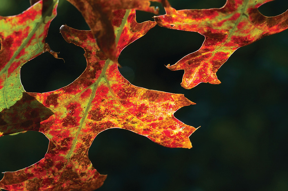 Close up of autumn leaf - Quercus coccinea