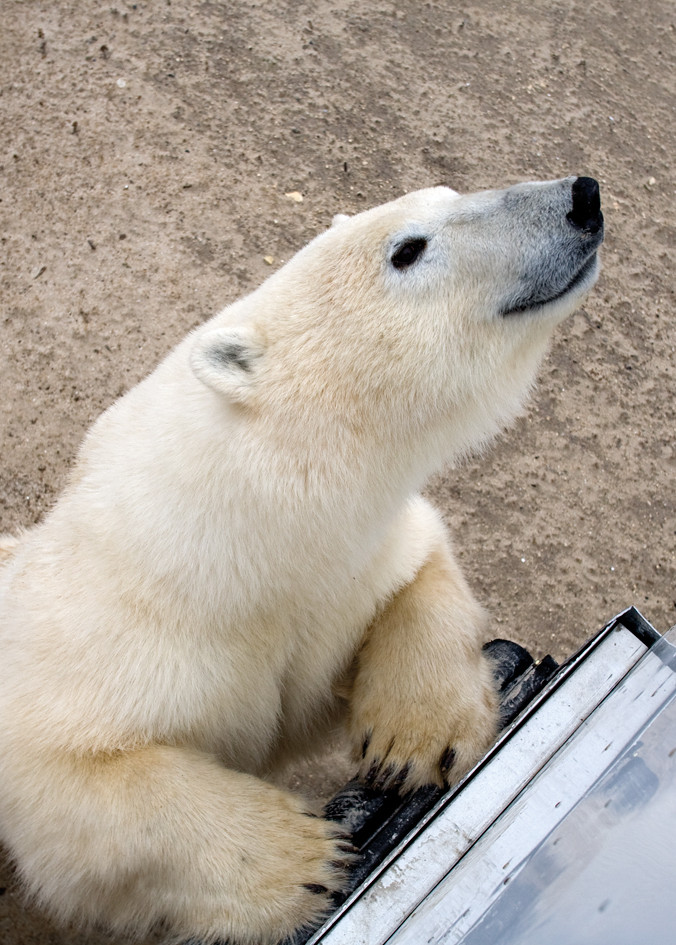 Polar bear, Churchill, Canada
