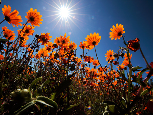 It's August: Witness Namaqualand in Flower
