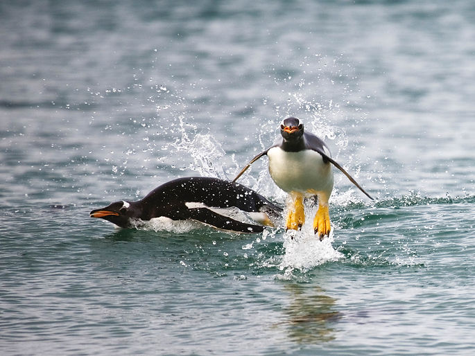 Gentoo penguins porpoising off Sea Lion Islnd, Falklands, by William Gray