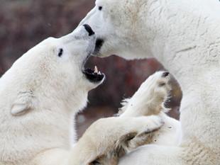 Polar Bears, Churchill