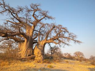 Baobabs on Kubu Island