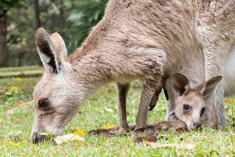 Grey kangaroo and joey, Carnarvon Gorge, Queensland