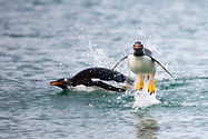 WilliamGray-Photography-Gentoo penguins