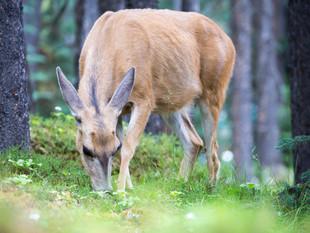 Young elk, Banff National Park