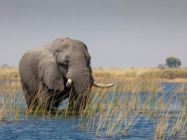 Bull elephant in the Okavango