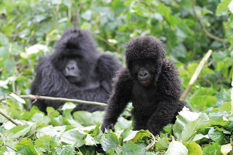 Baby mountain gorilla, Volcanoes National Park, Rwanda, by William Gray