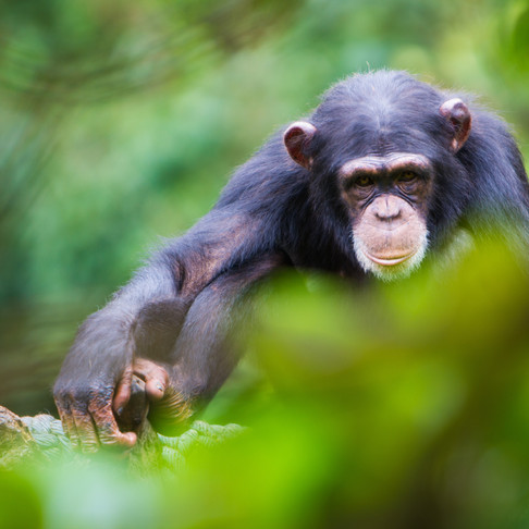 Making Contact with Chimps
