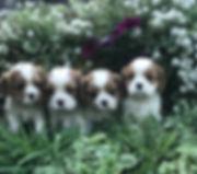 4 cavalier puppies
