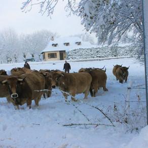 Les vaches sont rentrées au chaud