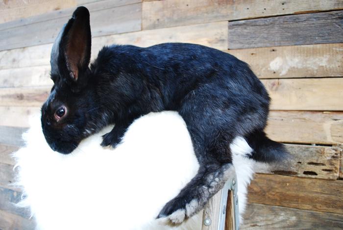 Bevlin Bunny