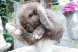 Chocolate Lop