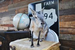 Landon Mini Kangaroo (cavy)