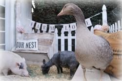 Pig Sheep & Mrs Goose