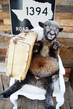 Wilder Babydoll Sheep