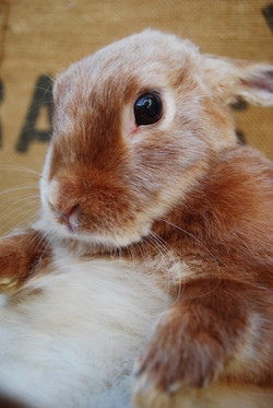 Cottontail Red Satin Dwarf Bunny