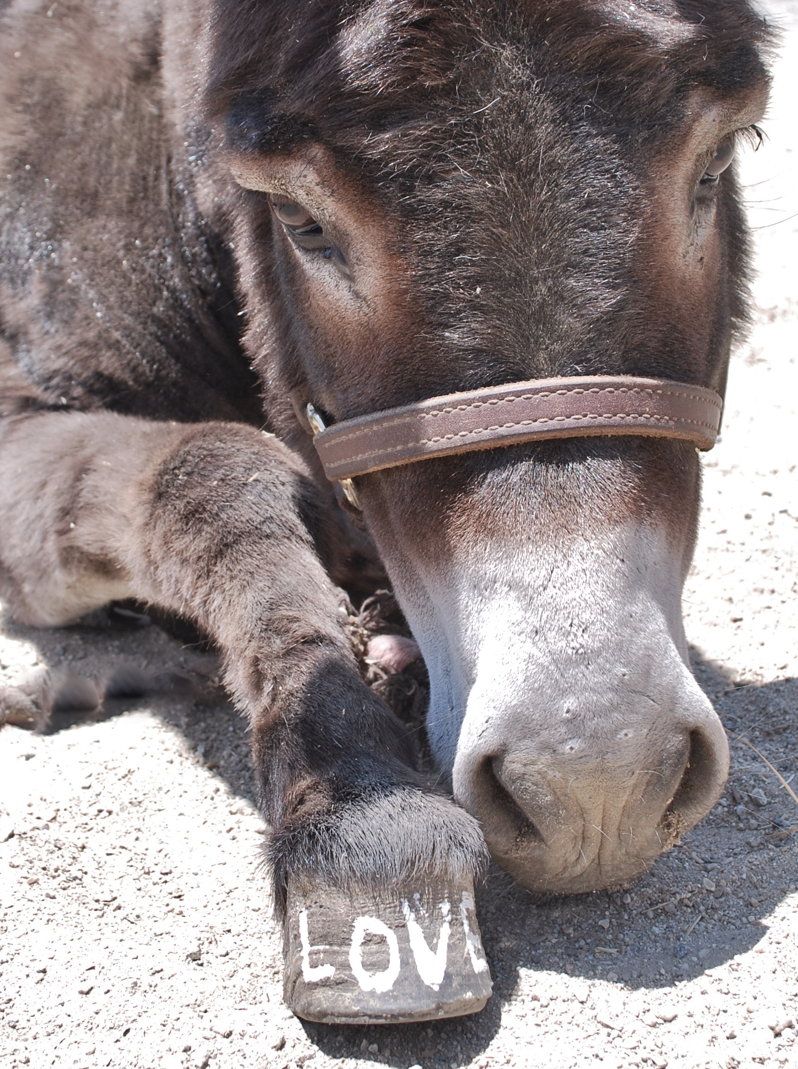 Mini Donkey Love