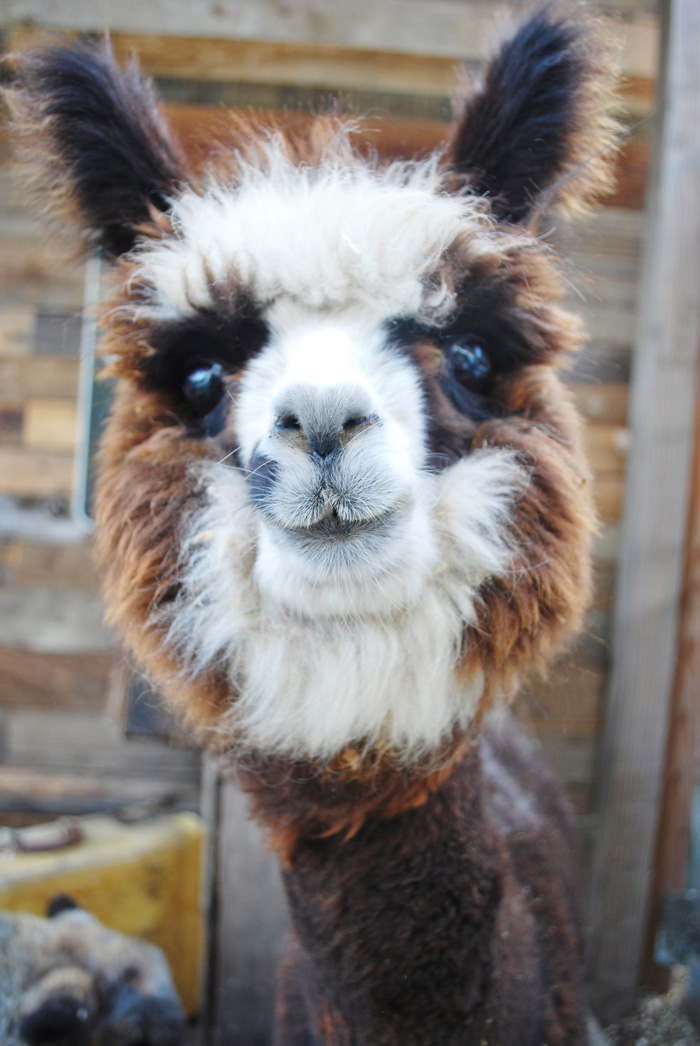Meadow The Dwarf Alpaca