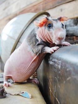Harriet Pocket Pig