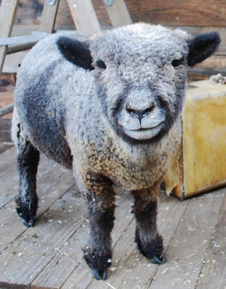 Wilder The Smiling Sheep