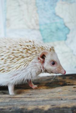 Mrs Tiggywinkle Hedgehog