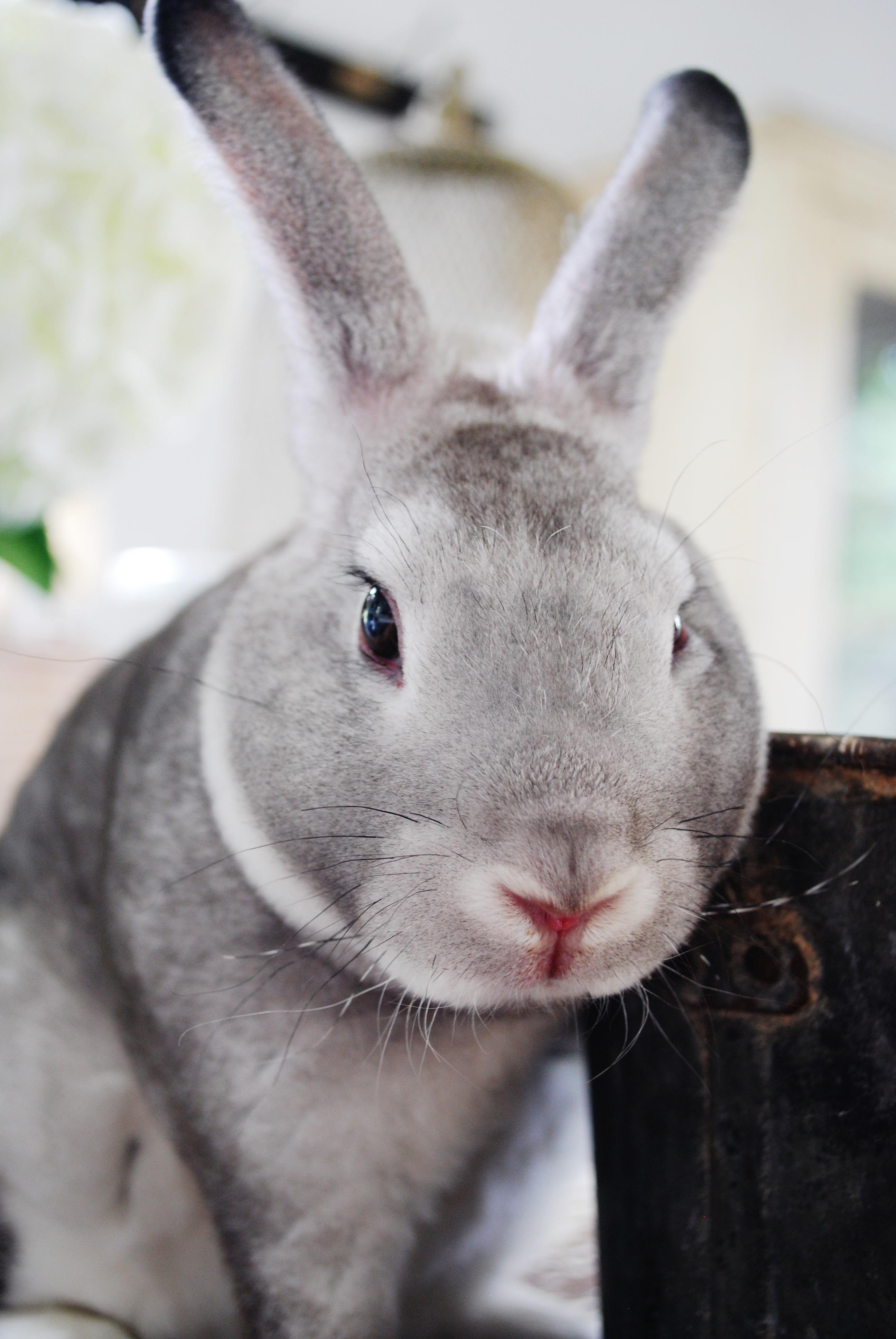 Rare Chinchilla Bunny