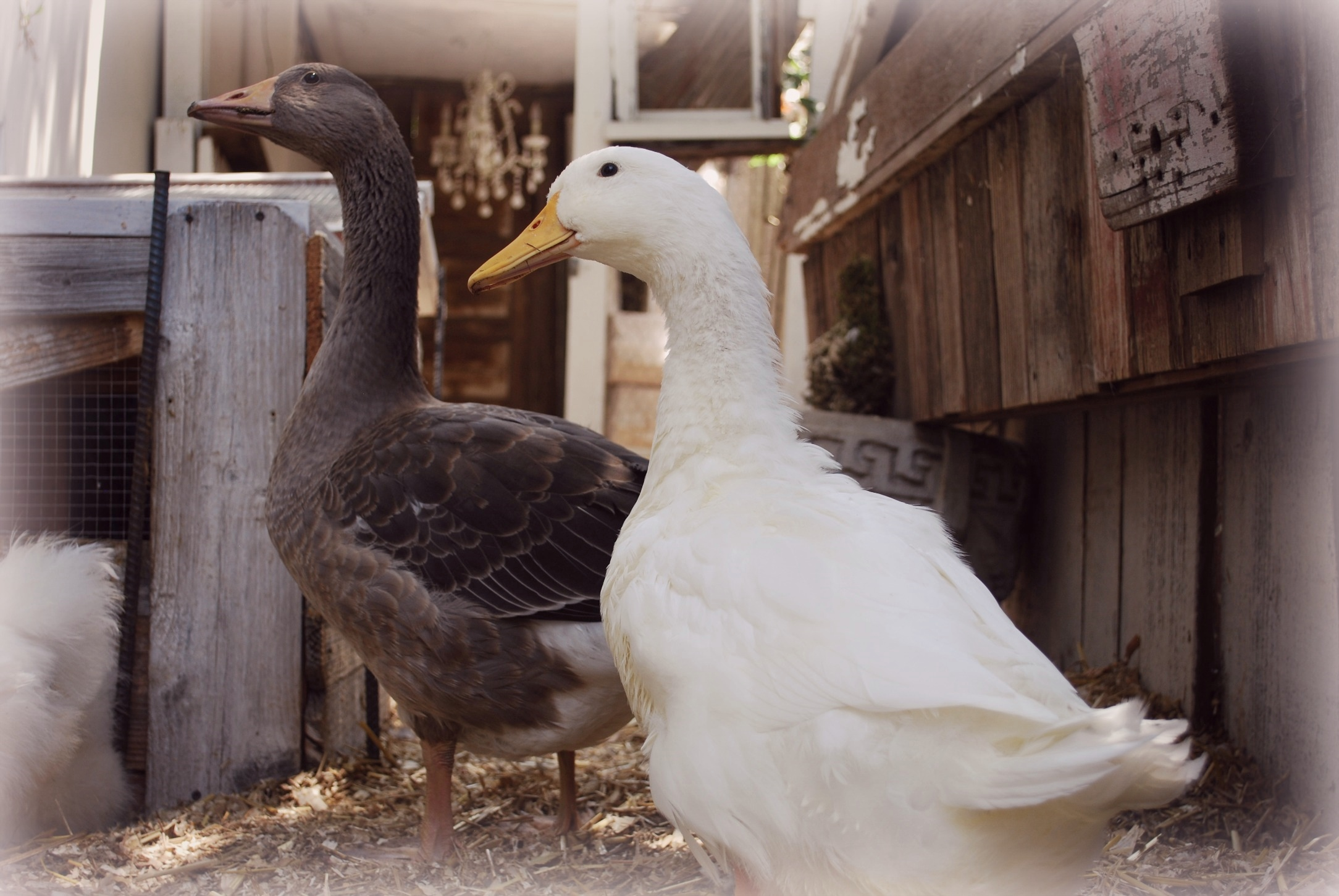 Jemima Puddle Duck & Mrs Goose