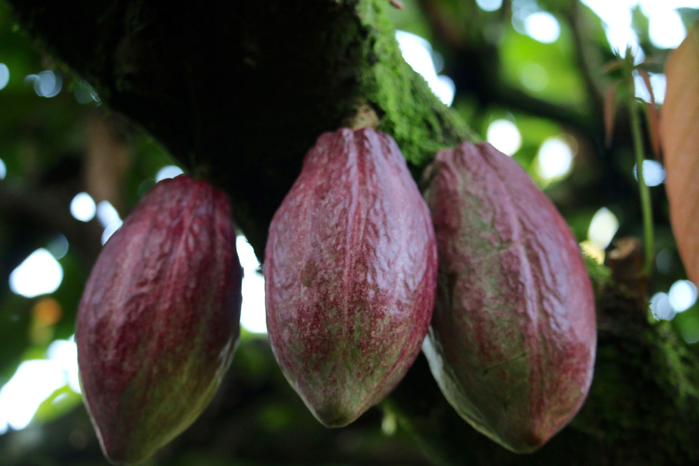 Cacao pods on the trunk.