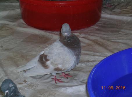 Портрет уличного голубя по кличке Рыжик. Фотографии голубя