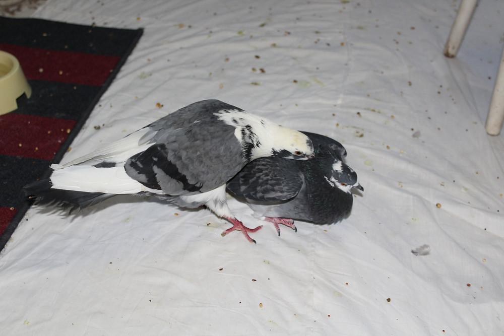 Уличные голуби дерутся