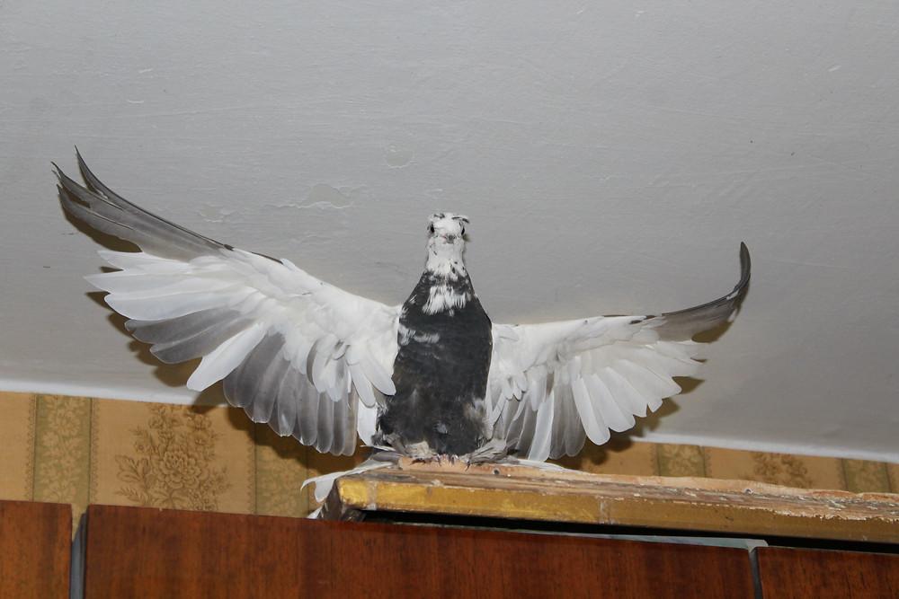 Красивый голубь. Чубатый голубь машет крыльями
