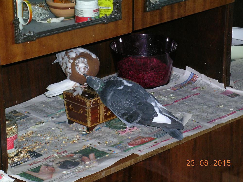 Отношения двух голубей. Любимый голубь