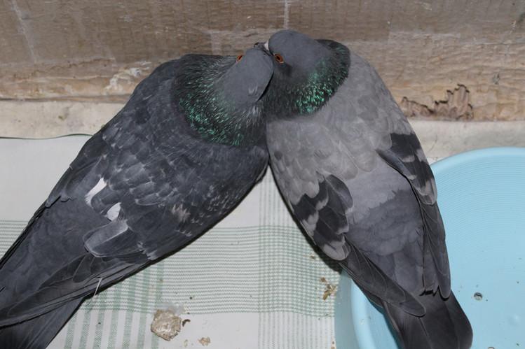 Наши голуби Папаша и Мамаша лежат, прижавшись друг к другу. Они любят быть вместе.