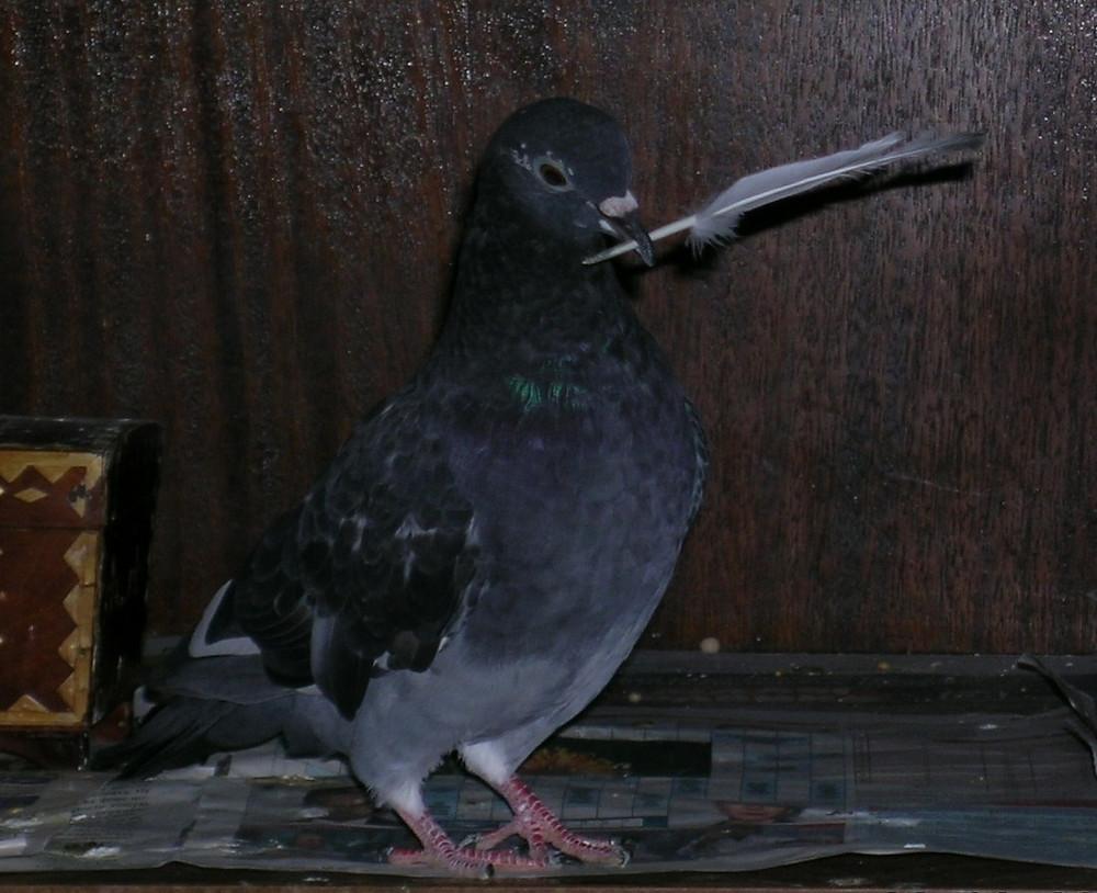 Уличный голубь с пером в клюве
