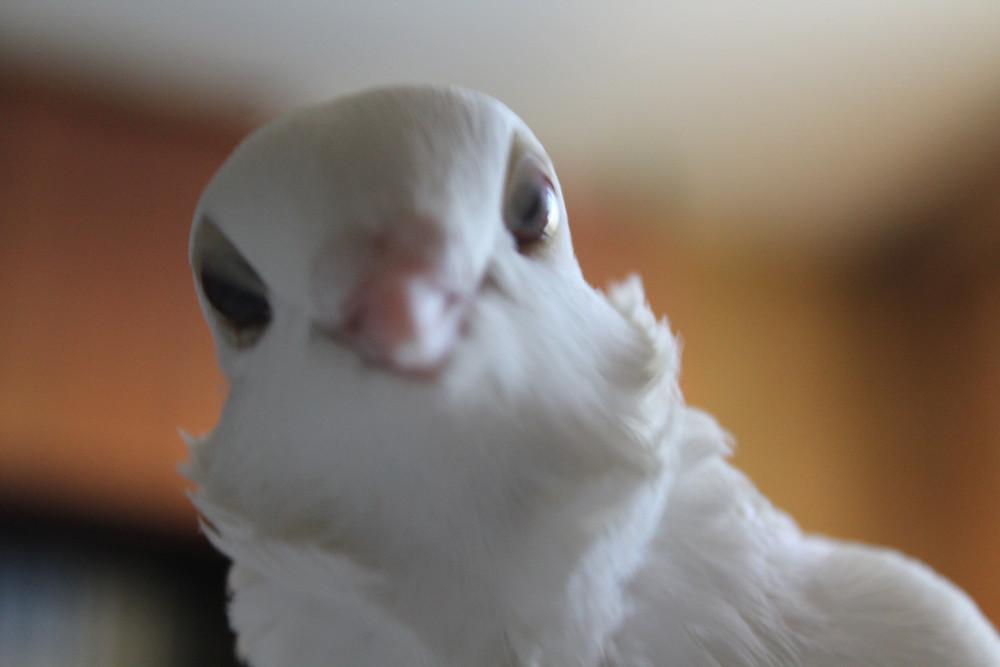 Красивый голубь. Голубь смотрит в объектив фотоаппарата