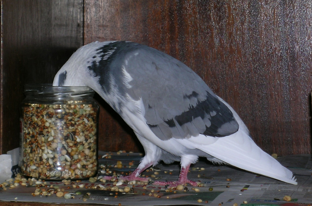 Голубь клюет зерно в квартире