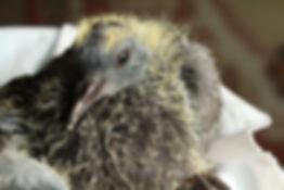 Маленький птенец уличного голубя сизаря. Возраст голубенка 16-17 дней