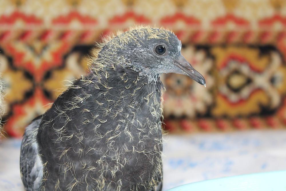 Портрет птенца голубя