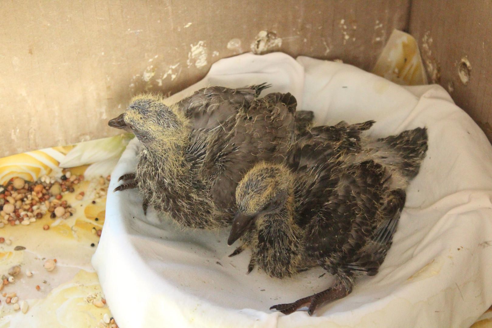 Наши птенцы в возрасте 14-15 дней