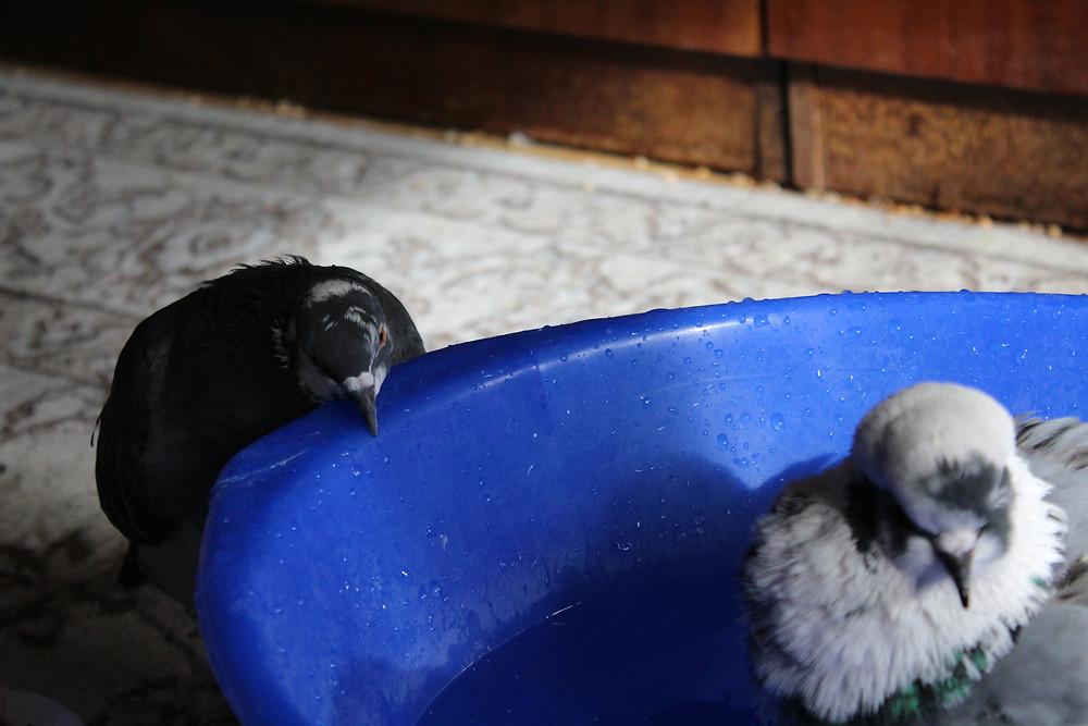 Уличные голуби в квартире